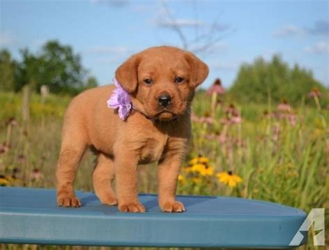 akc lab puppies for sale akc fox labrador lab puppies for sale for sale in bevent wisconsin