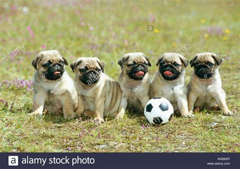 mastiff pug bulldog mix puppies