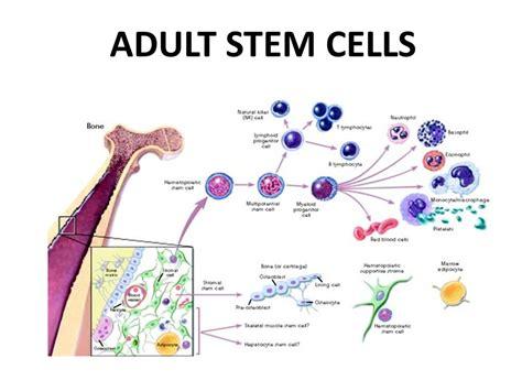 stem cells cell technology stem cells definition ppt video online