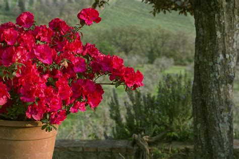 fiori azalee fiori e piante ortensie azalee e gardenie