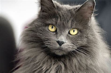 cat hair 20 most popular haired cat breeds white cats cat
