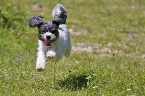 cani ideali per appartamento cani da compagnia quindici razze ideali per vivere in