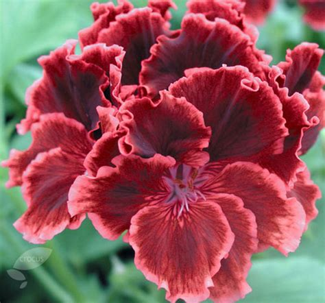 buy three regal pelargoniums pelargonium rimfire delivery by crocus co uk regal
