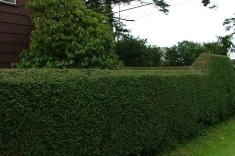 best evergreen hedge image gallery evergreen hedges