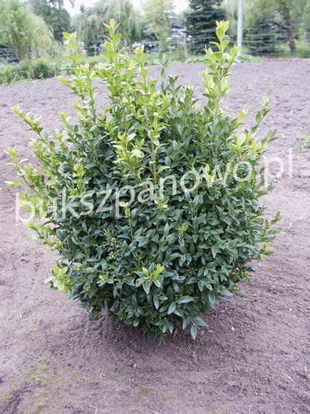 wann buxbaum schneiden buchsbaum schneiden wann buchsbaum schneiden wann bild