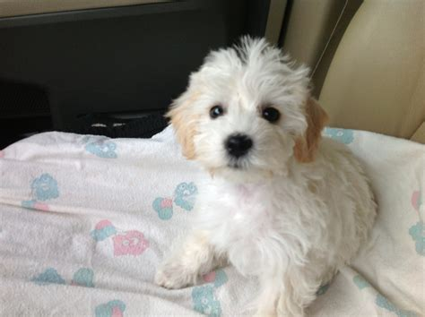schnoodle puppies florida mini schnoodle puppies s winter litter is here