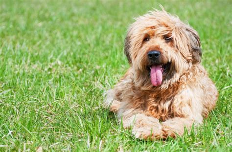 shaggy dogs top 8 shaggy breeds pawculture