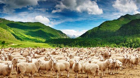 new year sheep wallpaper sheep 4k ultra hd wallpapers