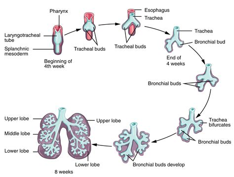 simple diagram of the simple respiratory system diagram anatomy human