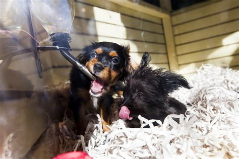 pet stores in chicago that sell puppies sacramento bans the sale of non rescue dogs cats from pet stores the dogington