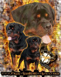 rottweiler puppies for sale in indiana 25 best ideas about rottweiler puppies for sale on german rottweiler