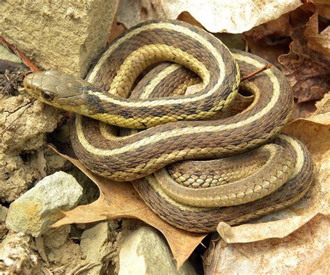 Garter Snake Live Common Garter Snake