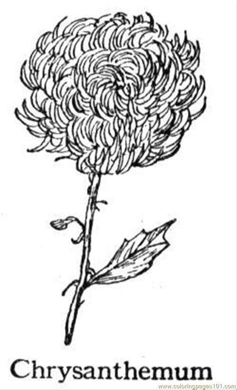 coloring pages chrysanthemum 5 natural world gt flowers
