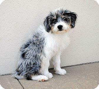 shih tzu rescue australia skyler adopted puppy weatherford tx shih tzu australian cattle mix
