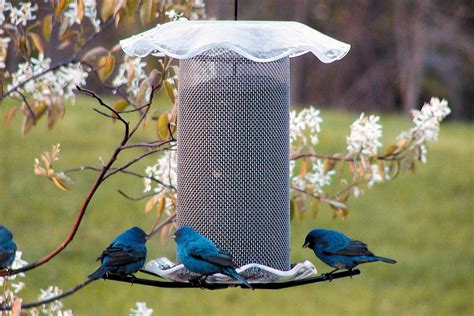How To Attract Indigo Buntings To Your Backyard by How To Attract Indigo Buntings To Your Backyard