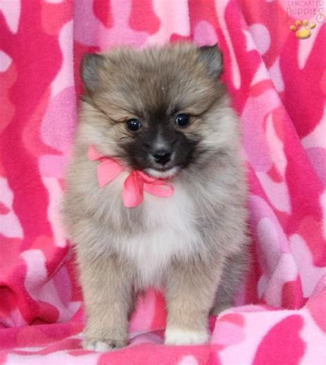 puppies for sale in youngstown ohio 1000 ideas about pomsky puppies for sale on pomsky for sale pomsky