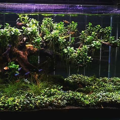 aquascape anubias image result for anubias aquascape аквариум pinterest