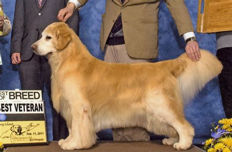 sunbeam golden retrievers puppies what you need to about getting one