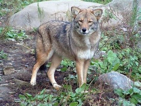 coyote hybrid coyote wolf hybrid confronts hikers hook principal to receive posthumous degree