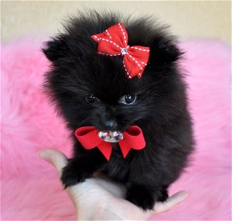 black micro teacup pomeranian tiny teacup black pomeranian princess wow she is amazing 16 oz at 10 weeks sold
