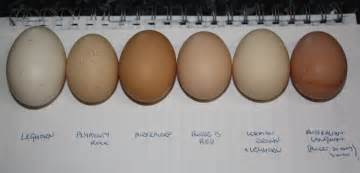 speckled sussex egg color backyard poultry forum view topic what eggs look like