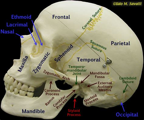 skull diagram labeled fetal skull diagram unlabeled vertebral column diagram