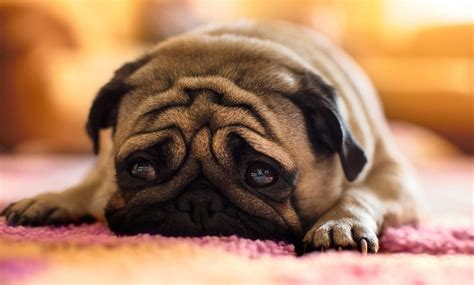 pug leg problems 7 problems only pug owners will understand