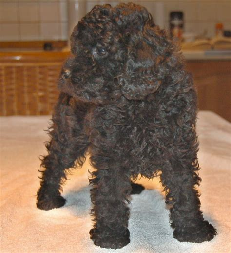 poochon puppies for sale poochon puppies glasgow lanarkshire pets4homes