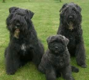 top 25 ideas about bouvier des flandres on big dogs beautiful dogs and australian