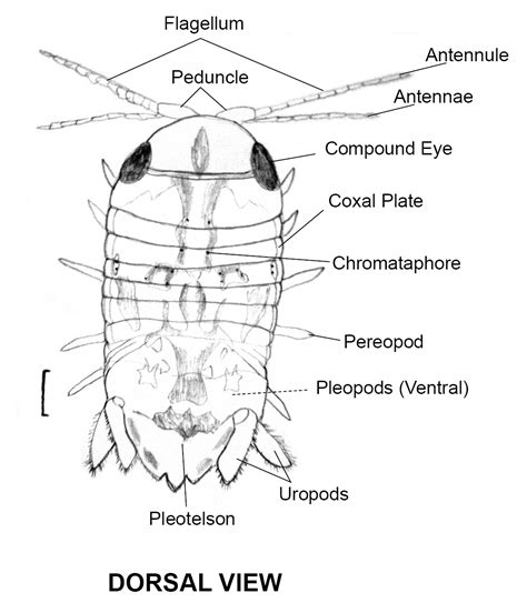 pillbug diagram isopod diagram related keywords isopod diagram