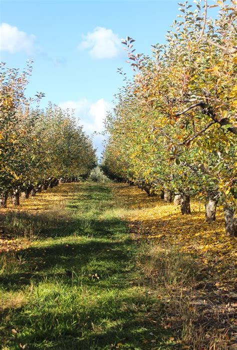 christmas tree places apple hill ca from apple hill thyme for health