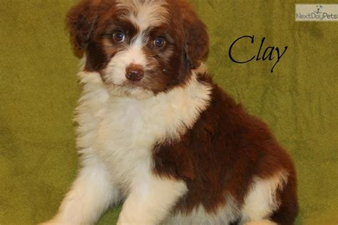 aussiedoodle puppies for sale near me aussiedoodle puppy for sale near dallas fort worth 6f9fc2f9 a1c1