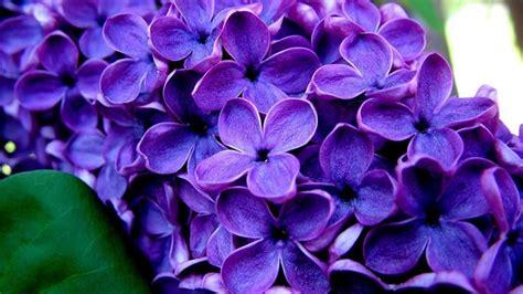 foto fiore viola fiori viola nomi significato fiori nomi dei fiori viola