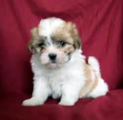 Frise shihtzu puppies shichons teddy bears and shih tzu puppies