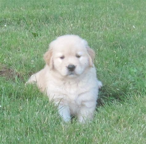 golden retriever puppies michigan anam cara goldens golden retrievers lansing golden retriever breeders michigan