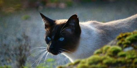 gatto siamese alimentazione il gatto siamese le cose da sapere prima di averlo
