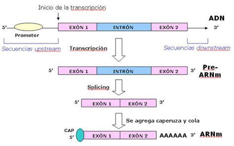 cadena molde de adn transcripcion transcripci 243 n inversa