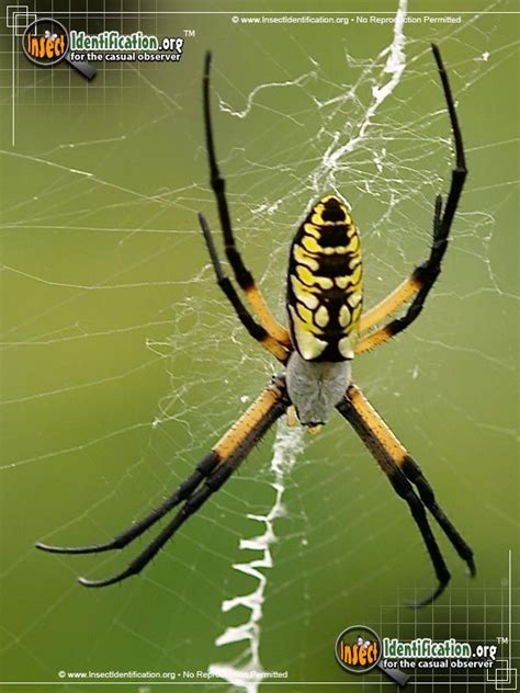 Garden Spider Usa by Black And Yellow Garden Spider The Ubiquitous Black And