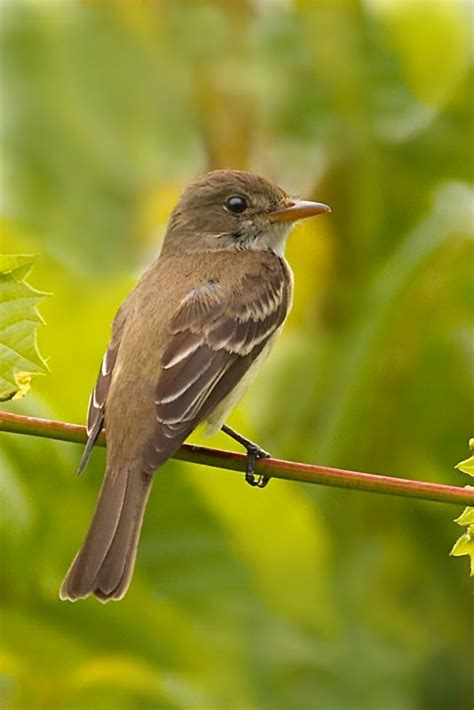 willow flycatcher photo by quot muskrat quot