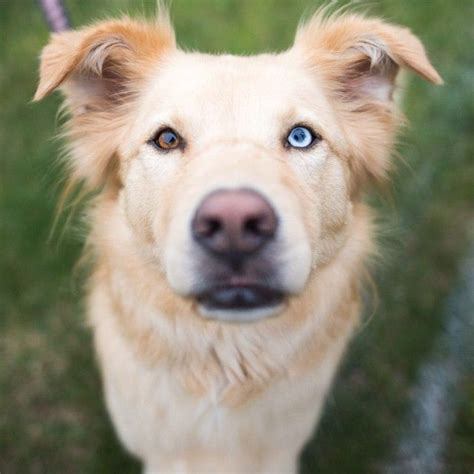 different colored golden retrievers 63 best images about golden husky mix cutest on the golden