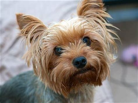 sneezing yorkie my s cough is lasting weeks what could it be justanswer
