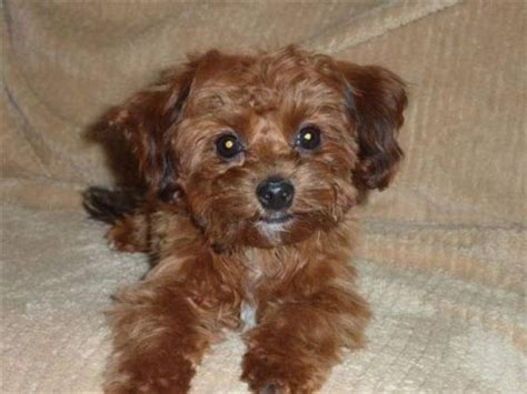 yorkies alberta shih tzu yorkie and puppys on