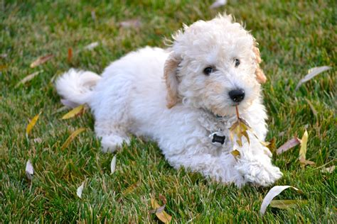 poodle mix puppies labradoodle labrador retriever poodle mix
