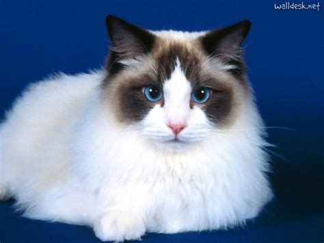 ragdoll que significa conhe 231 a algumas ra 231 as de gatos populares
