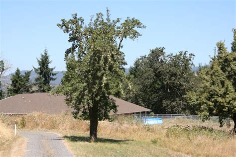 fruit tree nursery oregon winter pear at our pleasant hill oregon home