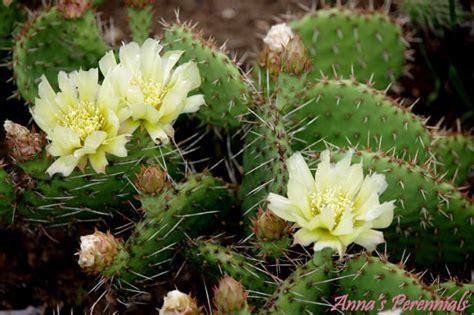 winter hardy cactus annas perennials