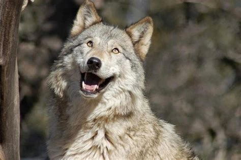 wolf with wolf with open picture