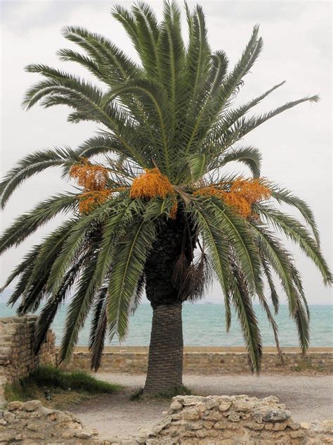 date palm growing   care   date palm tree