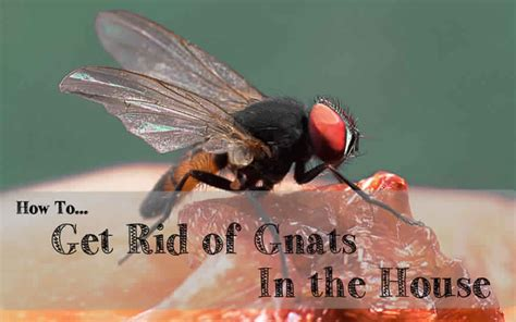 How To Kill Gnats In House how to get rid of gnats in your house