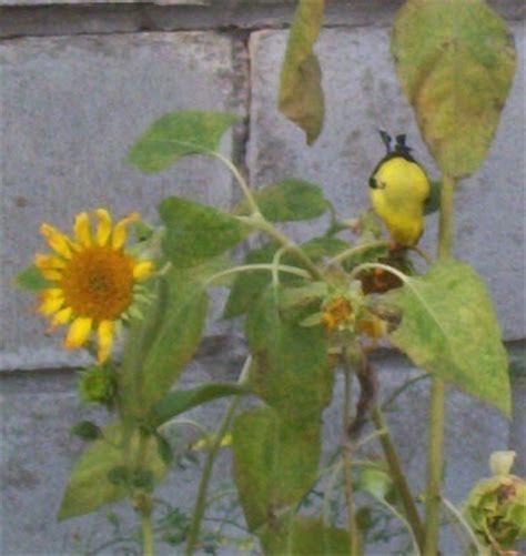 sunflower information and photos thriftyfun